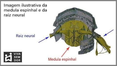 medula-espinhal-e-raiz-neural-e-a-dor-no-joelho-vivasemdor